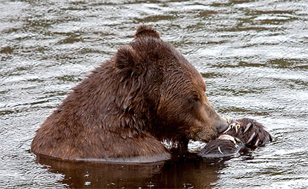 grizzly eating a fish